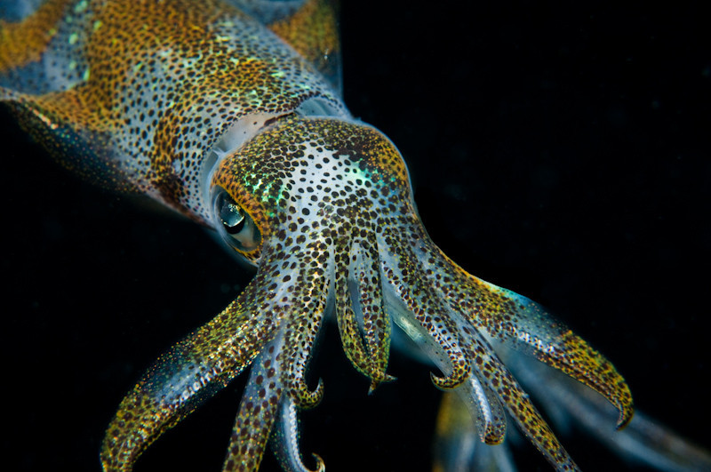 love the way this squid is coming right at you. These guys are only about 3 inches long...