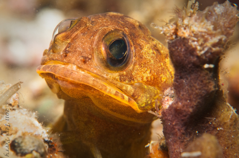 """This jawfish was SO-O-O funny! I saw him then he gave me """"the look"""", then raced over and grabbed rocks and spit them out at me and went back for more. Did about 5 trips while I was watching.....Deco time was looming but I wonder what he was doing and why???"""