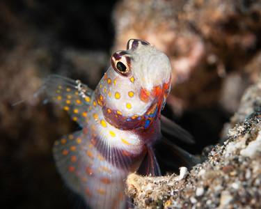 fish goby attitude-5