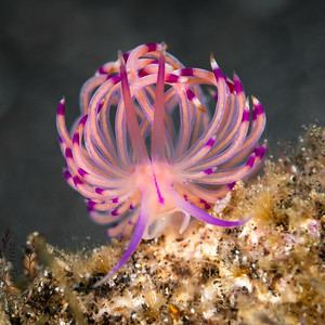 nudibranch flabellina-2-2