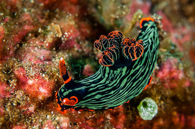 nudibranch nembrotha-2