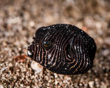 fish infant boxfish-2