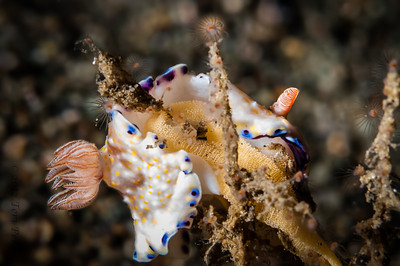 nudibranch-perhaps a cannibal?-4718