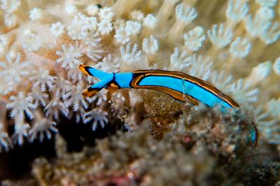 sea slug- thuridilla lineolata -5873