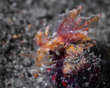nudibranch- eubranchus ocellatus on top of crab-6065