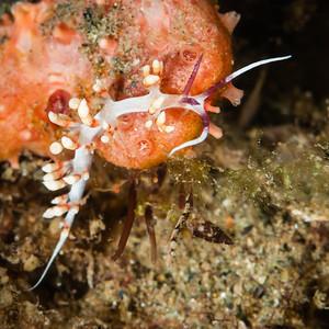 nudibranch- flabellina-6005