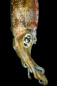 squid-1242