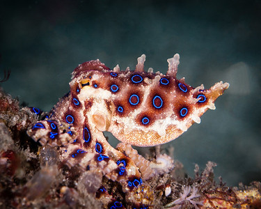 octopus blue ring-7595