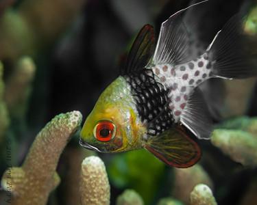 fish pajama cardinal-2