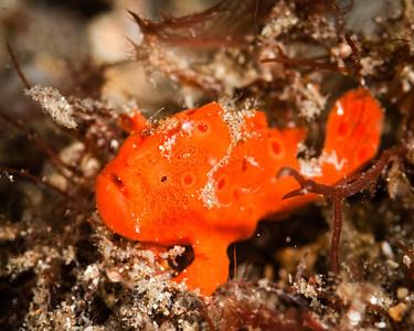 fish frogfish juvenile-7720