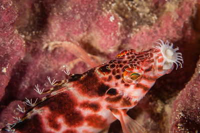 Not sure what this hawkfish was eating but he was just sitting there for a while with this protruding from his mouth