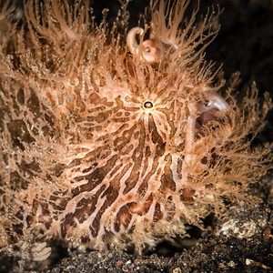 fish frogfish hairy-8453