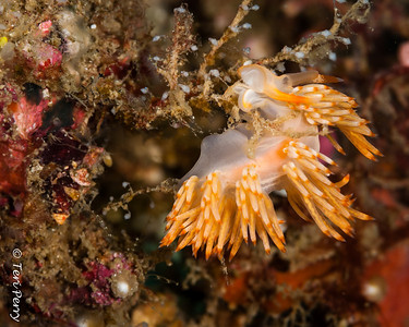 NUDIBRANCH - flabellina-6779