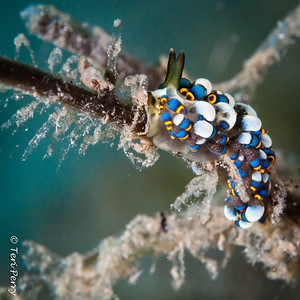NUDIBRANCH - cuthona -7632