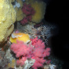 Sponge, soft coral, giant barnacle, orange peel Nudibranch and basket star - at Browning Wall