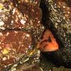 Tiger Rockfish, shy!