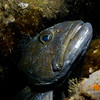Large Ling Cod - showing his age with parasites, battle scars and bit of attitude!