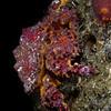 Mature Puget Sound King Crab