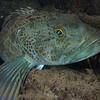 A juvenile Ling Cod - beautiful colors!