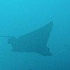 EAGLE RAY--we saw lots of these also