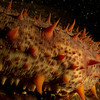 California Sea Cucumber
