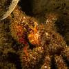 Lithodid crab - Teakerne Arm, Redonda island
