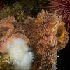 Pacific Octopus, Browning Pass, BC