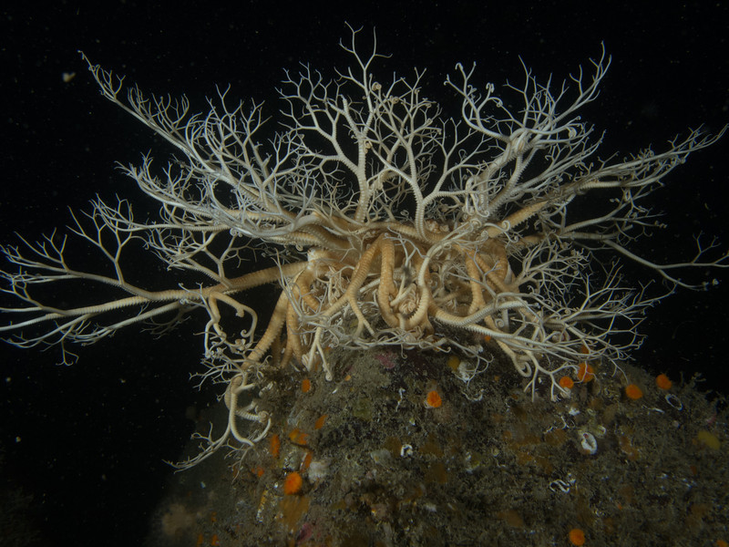 basket star in the Southern Gulf Islands (Saturna Island), after stimulation