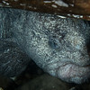 Wolf Eel in den, male, Howe Sound