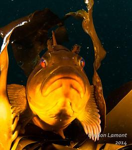 Kelp Greenling (Juvenile) - master of camouflage