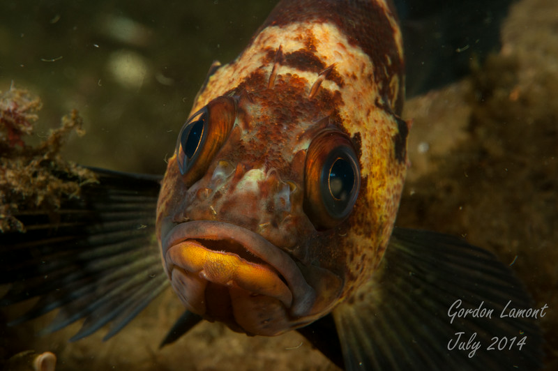 A curious Quillback Rockfish