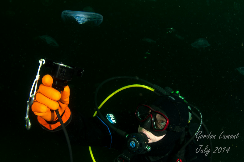 A diver illuminates a moon jellyfish from below