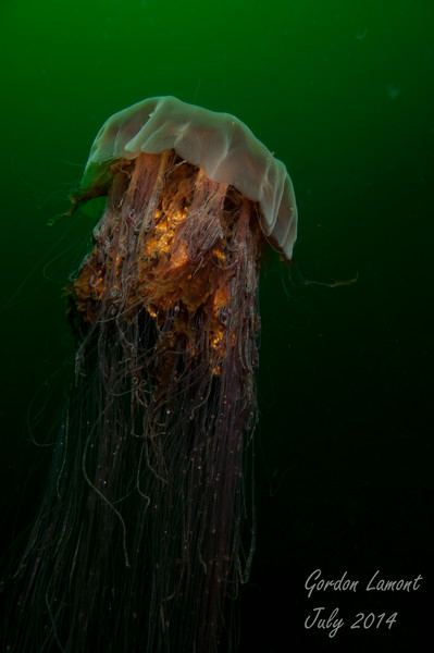 A magnificent Lions Mane jellyfish midwater in Desolation Sound
