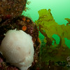 A giant White Dorid in the shallow waters of Desolation Sound