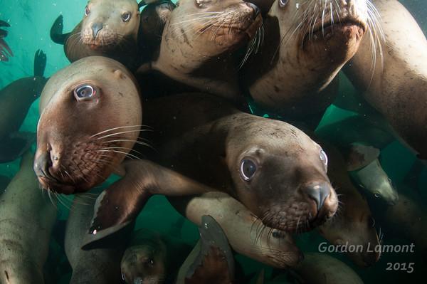 Sea Lions, Hornby Island, 2015