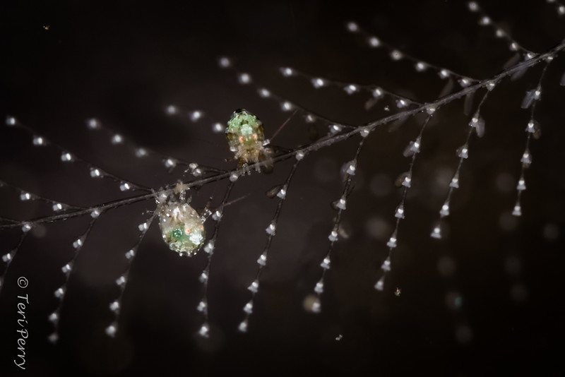 AMPHIPODS - ladybug-8812-Edit