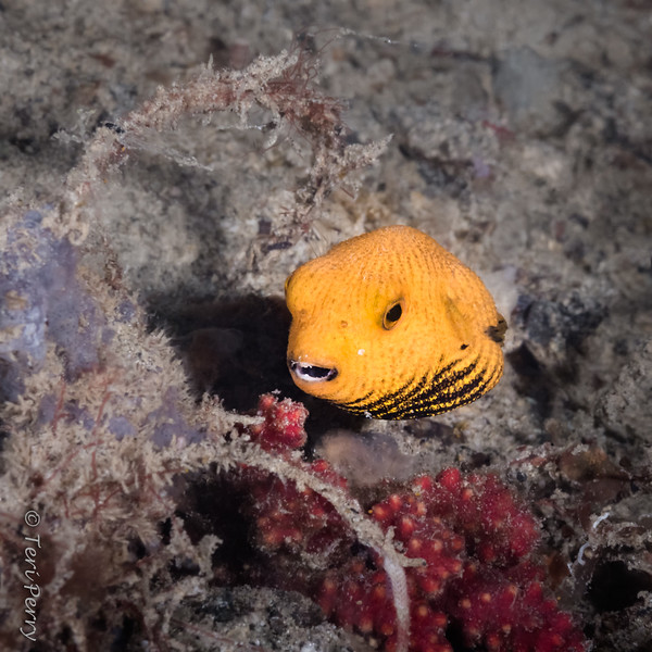FISH - puffer fish baby --with attitude-8675-Edit-2