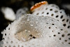 SHRIMP - bryzoa coral shrimp-8435-Edit