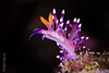 NUDIBRANCH - Flabellina exopata9018-Edit-Edit