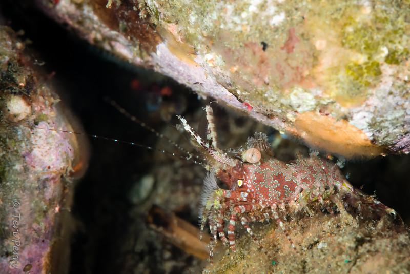 SHRIMP - saron shrimp-