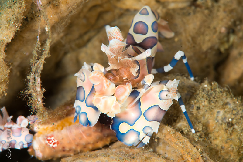 SHRIMP - harlequin-8906-Edit