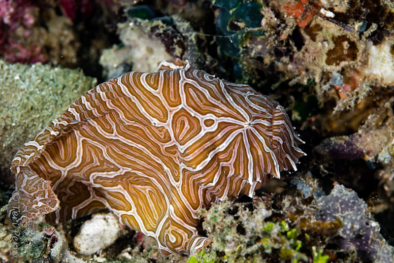 FISH - psychedelic  frogfish-7798