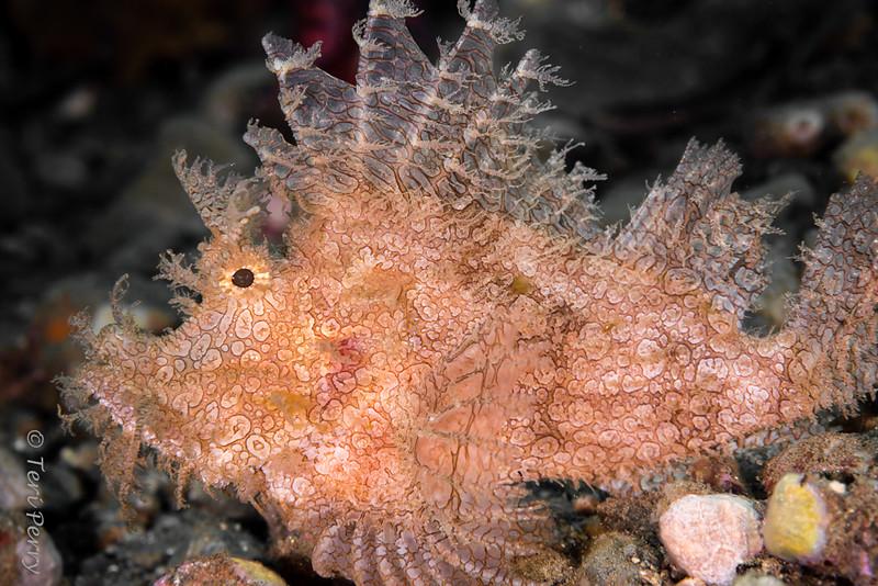 FISH - rhinopias-8388
