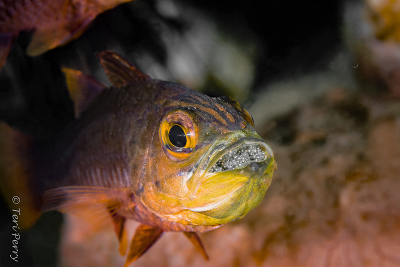 FISH - male cardinalfish with eggs-8761-Edit-Edit