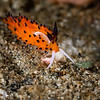 "NUDIBRANCH - favorinus tsuruganus ""tiger"" carnivore eats nudi eggs-8479"