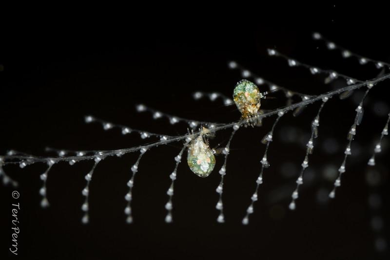 AMPHIPODS - ladybug-8815