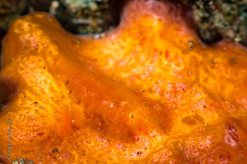 SHRIMP - cryptic sponge shrimp8118