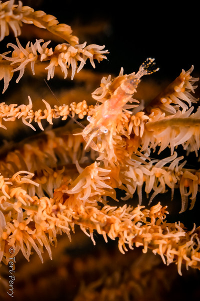 SHRIMP - crinoid-6574-Edit-Edit
