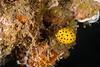 FISH - boxfish baby-8272-Edit