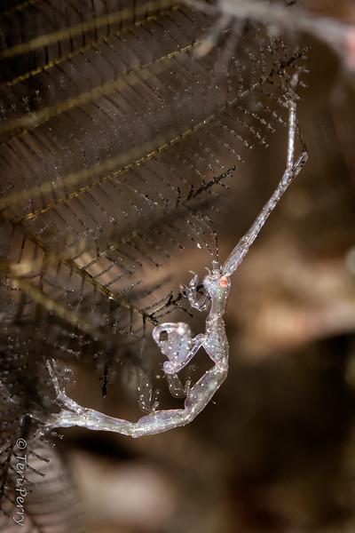 "AMPHIPOD - caprellidae ""skeleton shrimp""_-2"